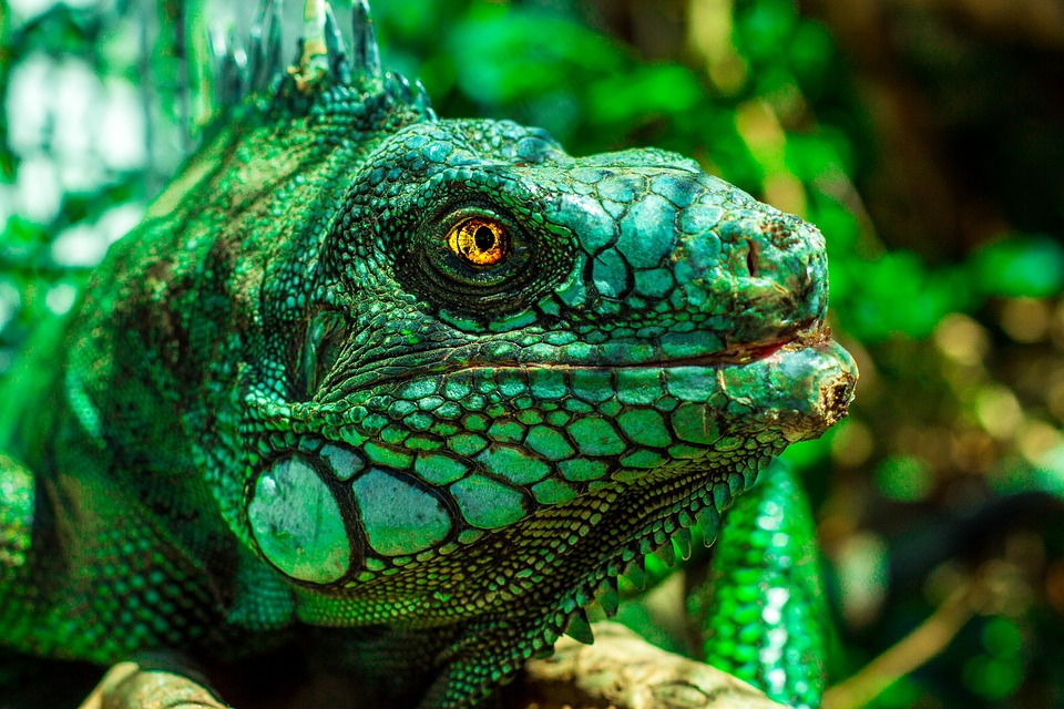 Reptile Brazil Iguana Nature Lizard Eyes Animal